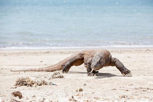 Komodo Dragon auf Komodo Island am Donnerstag (06.09.12). Foto: Tanja Demarmels